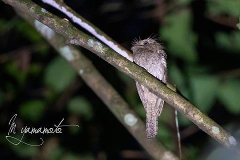 sSri-Lanka-Frogmouth-3