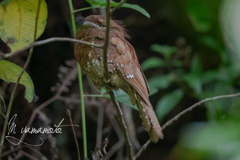 sSri-Lanka-Frogmouth-5