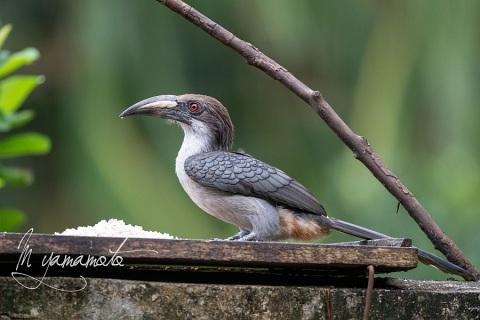 sSri-Lanka-Gray-Hornbill-4