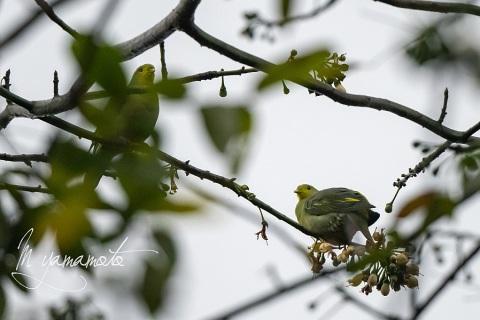 sSri-Lanka-Green-Pigeon-2