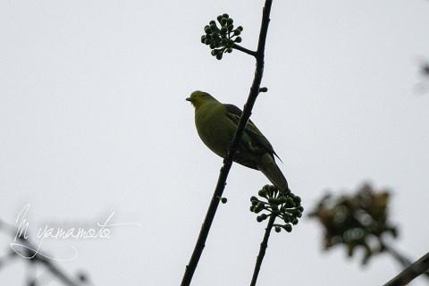sSri-Lanka-Green-Pigeon