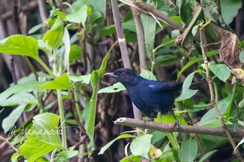 sSri-Lanka-Whistling-Thrush-3
