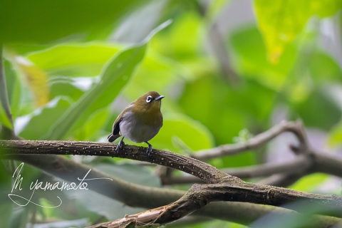 sSri-Lanka-White-eye-1