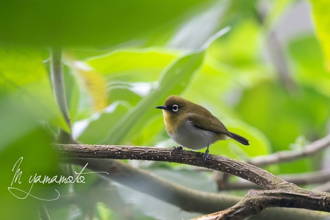 sSri-Lanka-White-eye-2