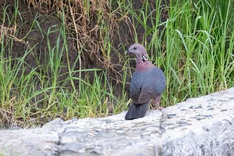 sSri-Lanka-Wood-Pigeon-2