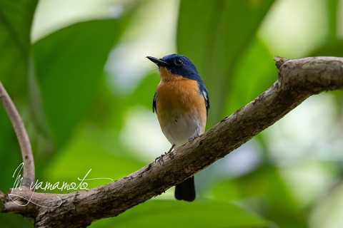 sTickells-Blue-Flycatcher-1