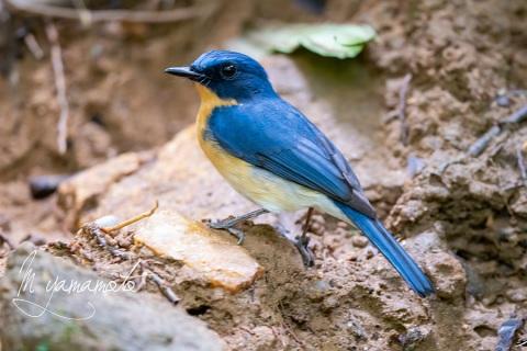 sTickells-Blue-Flycatcher-3