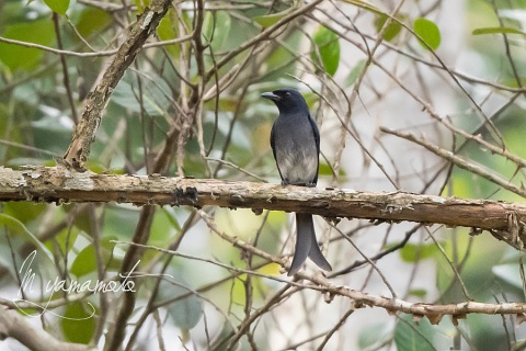 sWhite-bellied-Drongo-1