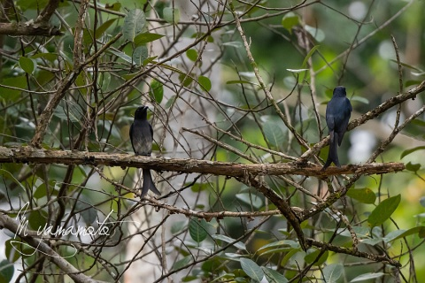 sWhite-bellied-Drongo-2