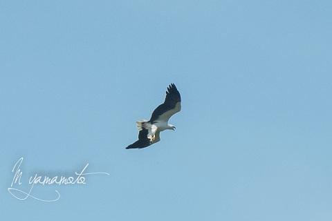 sWhite-bellied-Sea-Eagle-1