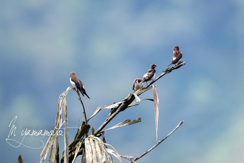 sWhite-rumped-Munia-2