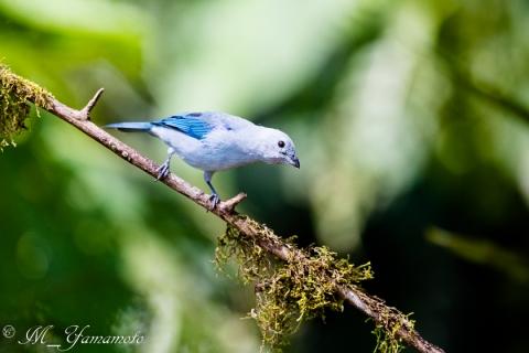 Blue-gray Tanager:ソライロフウキンチョウ