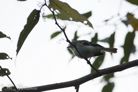 White-tailed Tyrannulet:オジロフタスジタイランチョウ