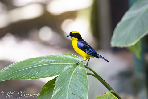 Blue-winged Mountain-Tanager:アオバネヤマフウキンチョウ