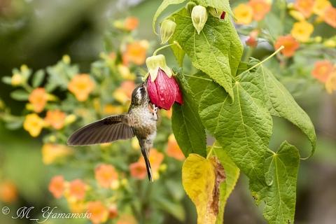 Speckled Hummingbird:ミミグロハチドリ