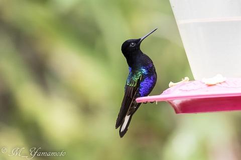 Velvet-purple Coronet:フジイロハチドリ