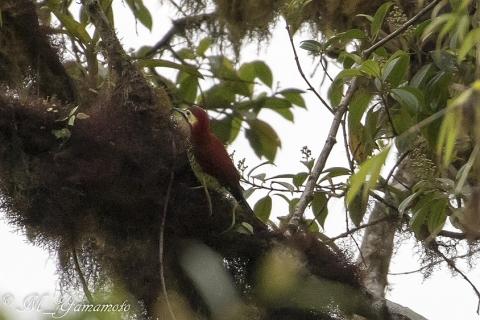 Crimson-mantled Woodpecker:アカバネモリゲラ