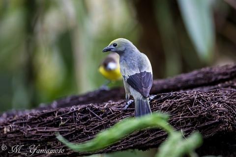Palm Tanager:ヤシフウキンチョウ