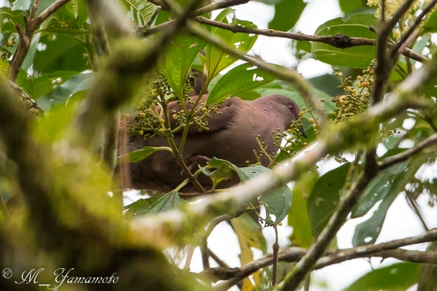 Ruddy Pigeon:チョコレートバト