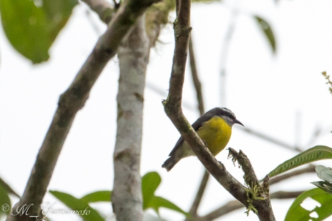 Rusty-margined Flycatcher:キバラヒタキモドキ