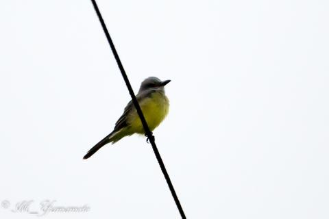 Tropical Kingbird:オリーブタイランチョウ