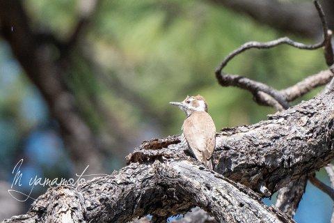 1_Arizona-Woodpecker-2-s