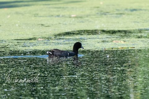American-Coot-s