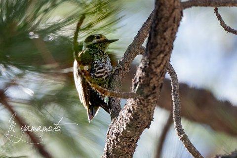 Arizona-Woodpecker-3-s