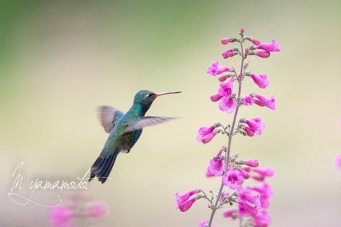 Broad-billed-Hummingbird-11-s