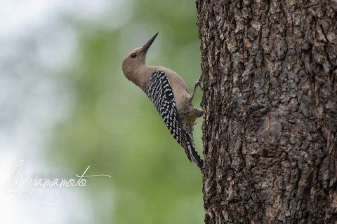 Gila-Woodpecker-1-s