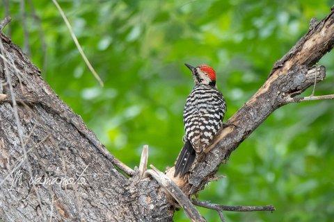 Ladder-backed-Woodpecker-2-s