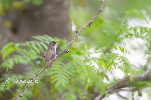 Violet-crowned-Hummingbird-10-s