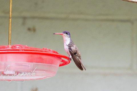 Violet-crowned-Hummingbird-7-s