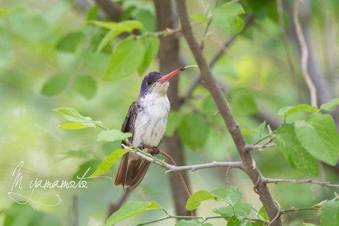 Violet-crowned-Hummingbird-8-s