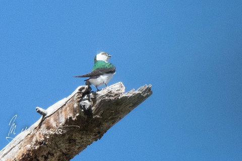 Violet-green-Swallows-1-s