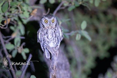 Whiskered-Screech-Owl-1-s