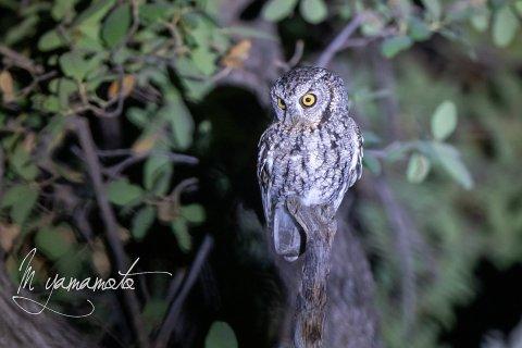 Whiskered-Screech-Owl-3-s
