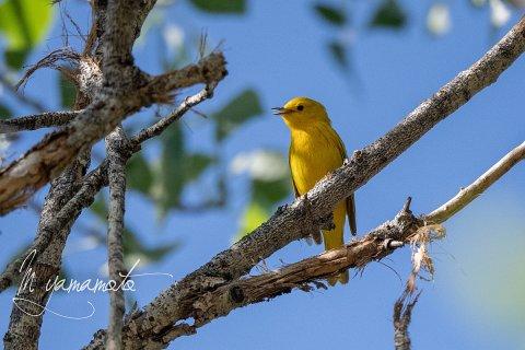 Yellow-Warbler-1-s