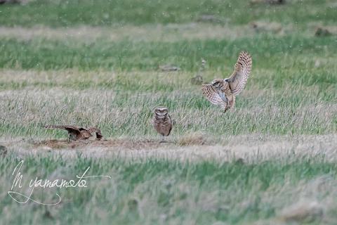 Burrowing-Owl-14-s
