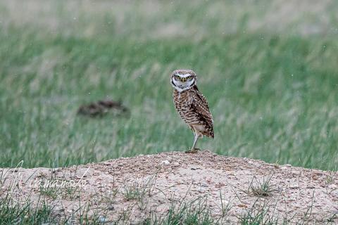 Burrowing-Owl-20-s