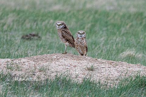 Burrowing-Owl-22-s