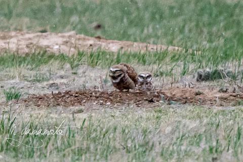 Burrowing-Owl-8-s