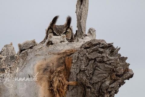 Great-Horned-Owl-s