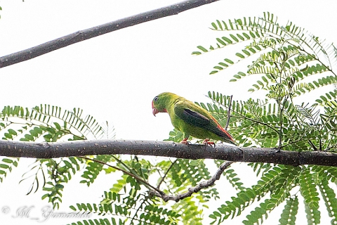 Philippine hanging parrot